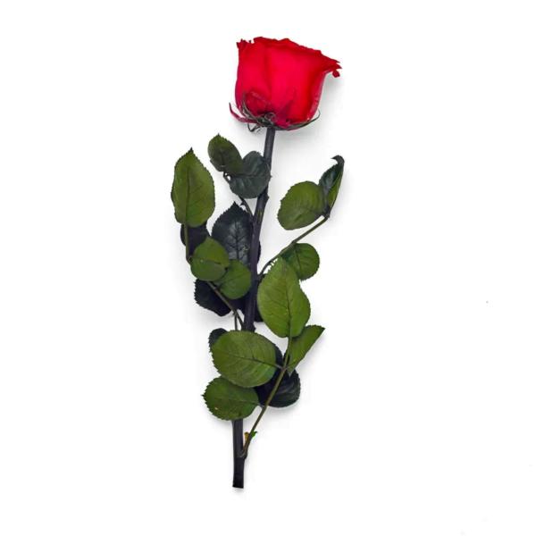Preserved-rose-stem-red